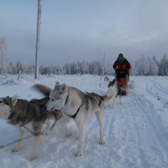 """Husky Dog Sled in Finland (1)"" stock image"