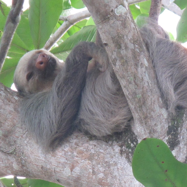 """Two toed Sloth"" stock image"