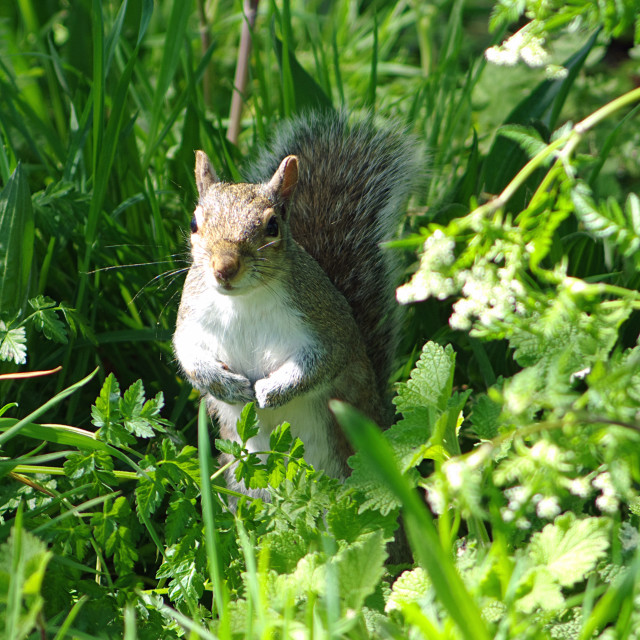"""""""Squirrel in the grass"""" stock image"""