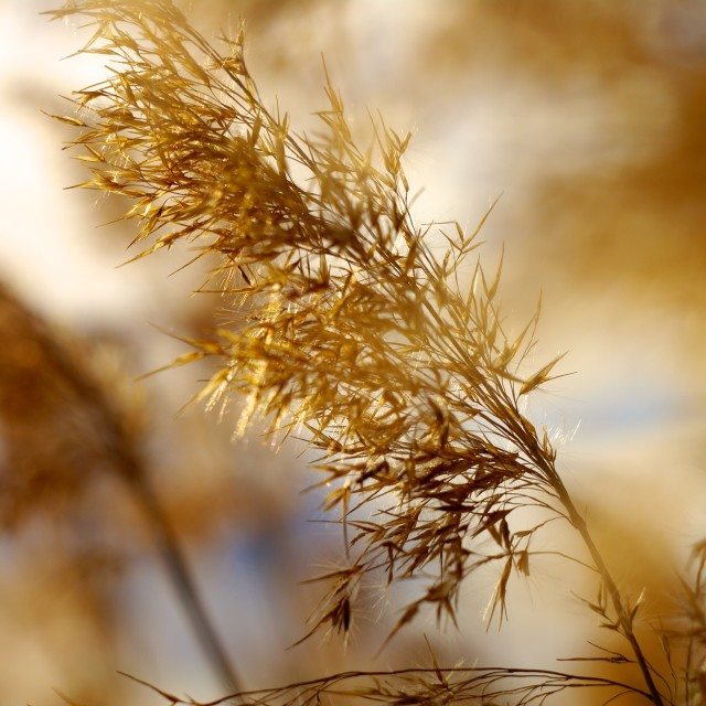 """""""Reed"""" stock image"""
