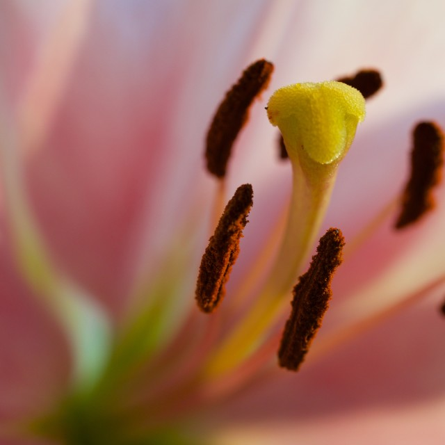 """Lily flower closeup"" stock image"