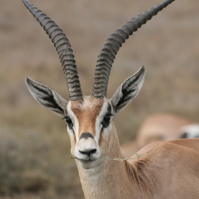 """Impala in the Serengeti"" stock image"