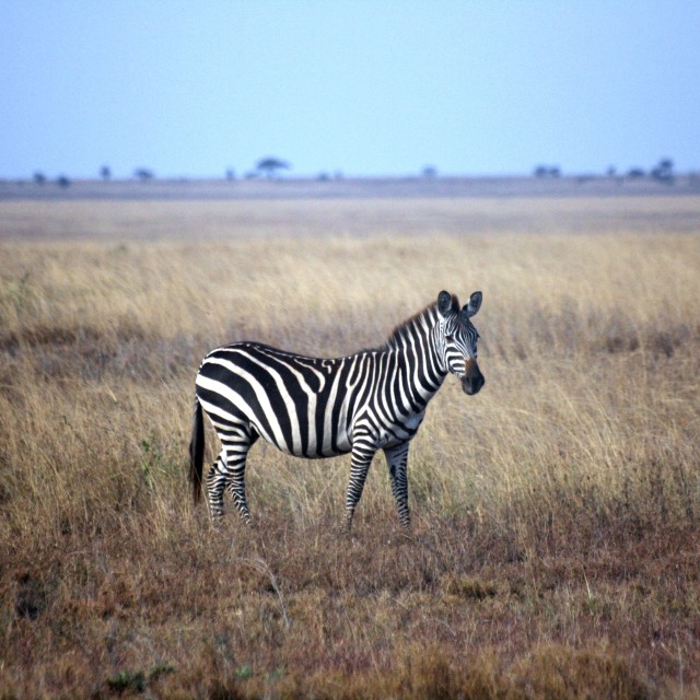 """Zebra in the Serengeti"" stock image"