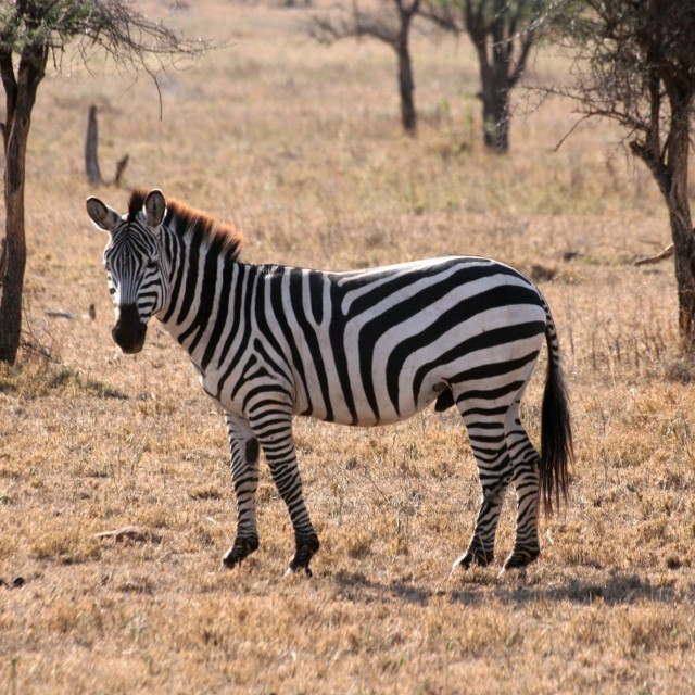 """Zebra in the Serengeti (1)"" stock image"
