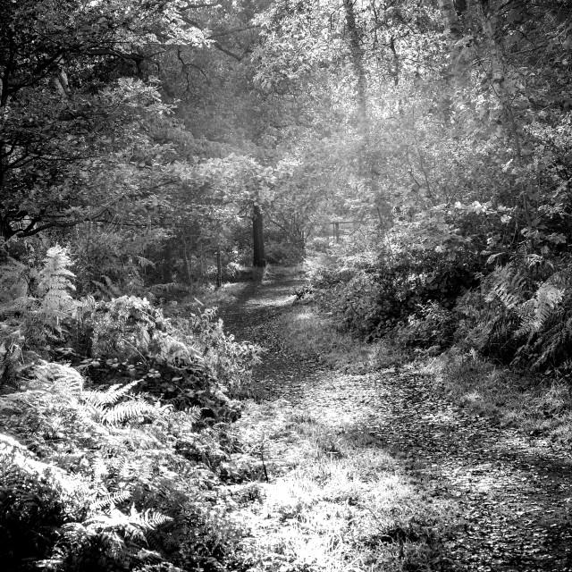 """""""Sherwood Forest ."""" stock image"""