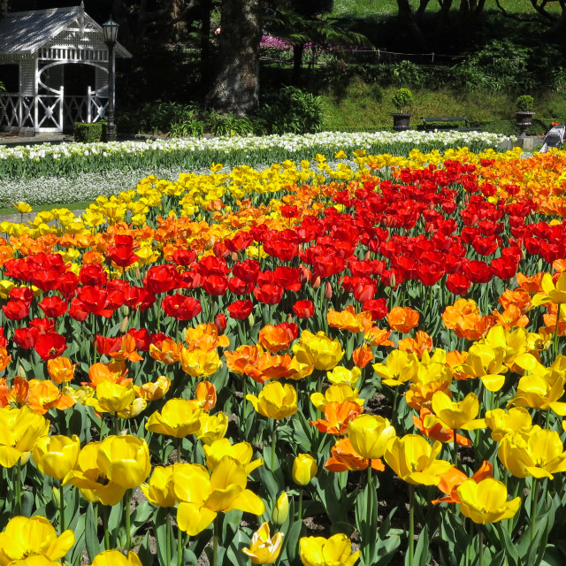 """tulip bed"" stock image"