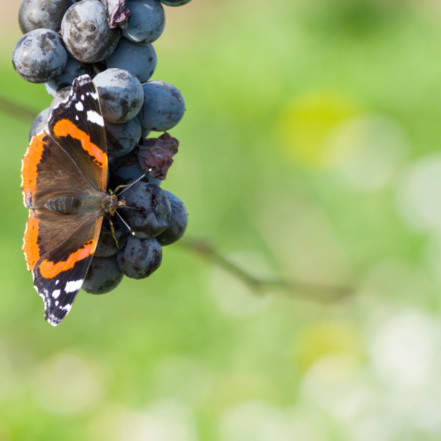 """""""Red Admiral Eating Grapes"""" stock image"""