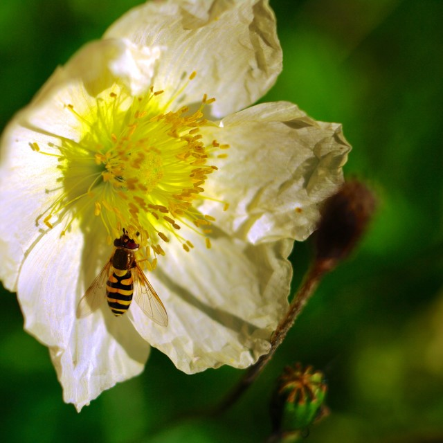 """Hoverfly on white flower"" stock image"
