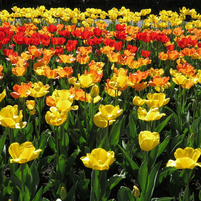 """Spring tulips"" stock image"