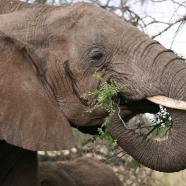 """Hungry elephant in the Serengeti"" stock image"