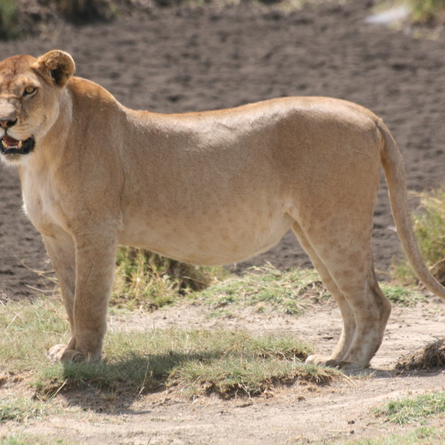 """Young male Lion in the Serengeti"" stock image"