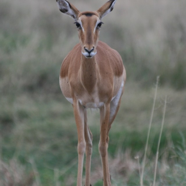 """Female Impala in the Serengeti"" stock image"