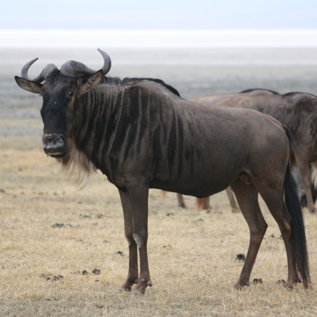"""Wildebeest in the Serengeti"" stock image"