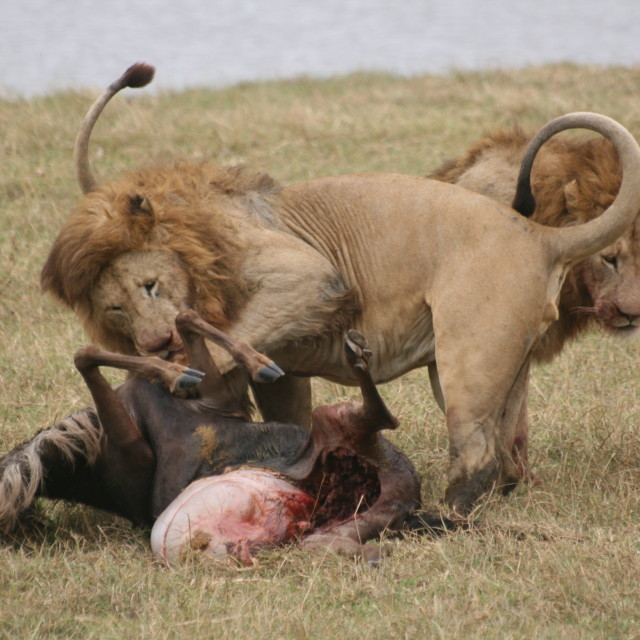 """Lions killing Wildebeest"" stock image"