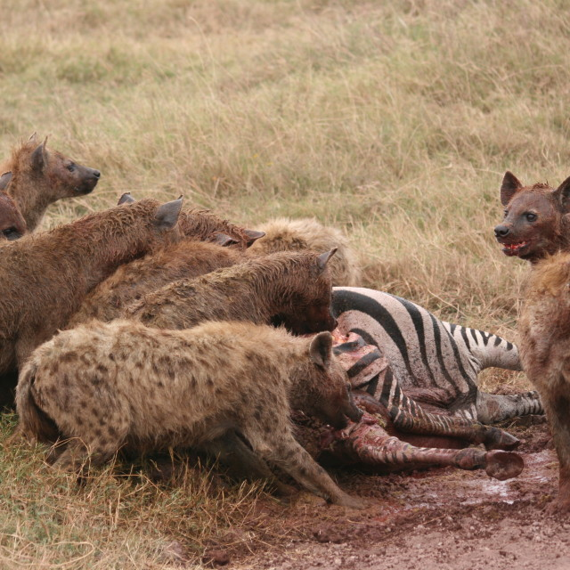 """Hyenas feasting on a zebra"" stock image"
