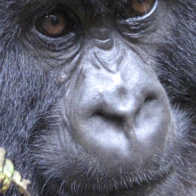 """Baby Gorilla in Rwanda"" stock image"