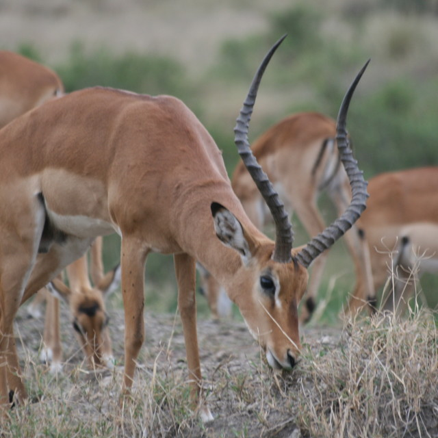 """Male Impala in the Serengeti"" stock image"