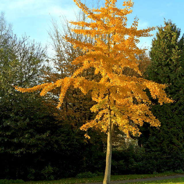 """Golden colored autumn tree"" stock image"