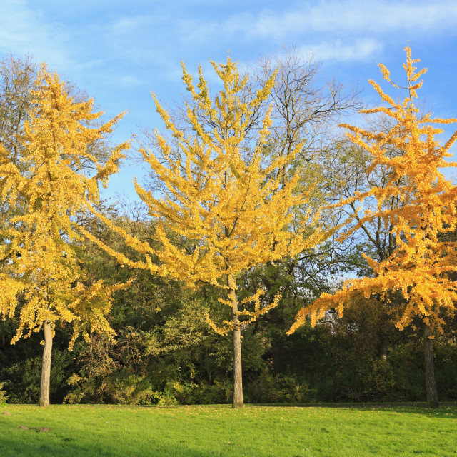 """Three autumn trees"" stock image"