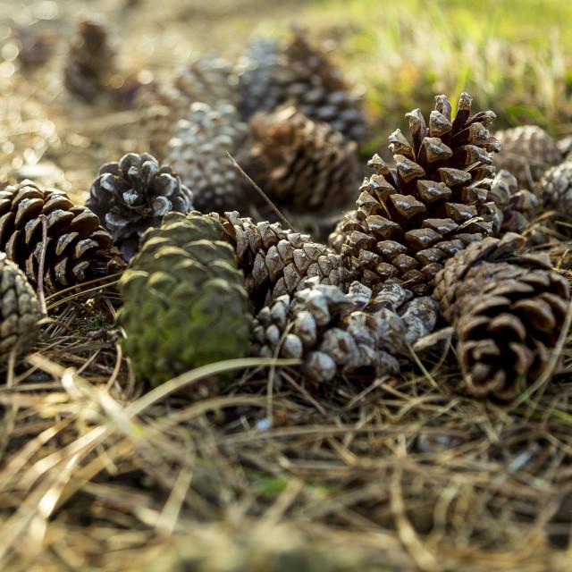 """""""Fallen Pine Cones"""" stock image"""