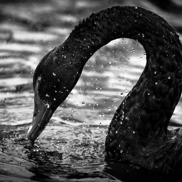 """Black Swan"" stock image"