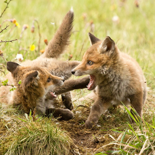 """Fox cubs at play"" stock image"