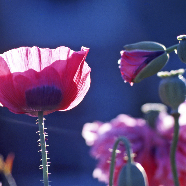 """Pink poppies"" stock image"