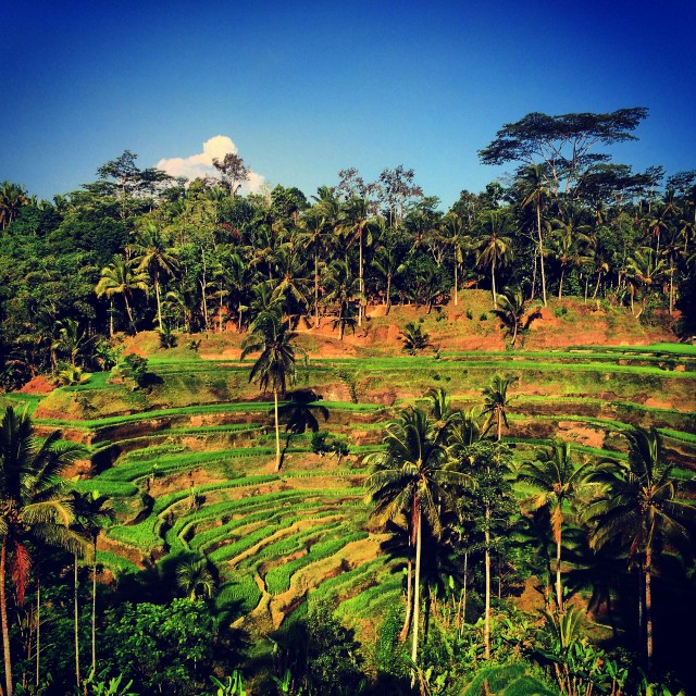 """Tagalong rice terrace, Bali"" stock image"