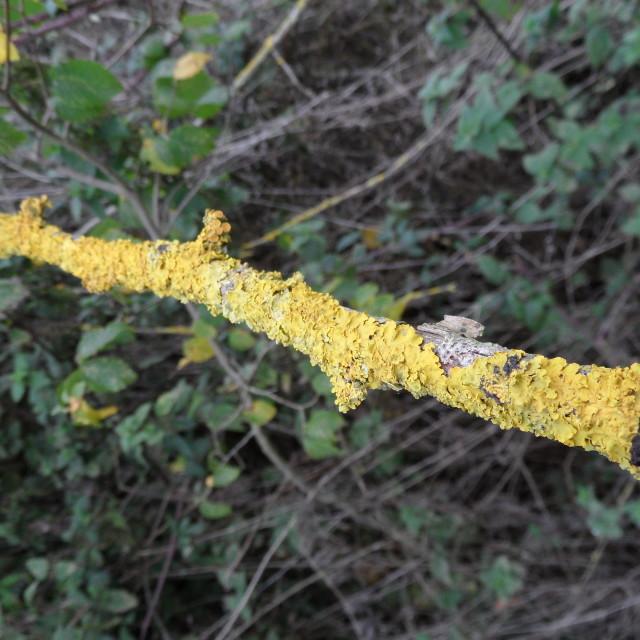 """""""lichen"""" stock image"""