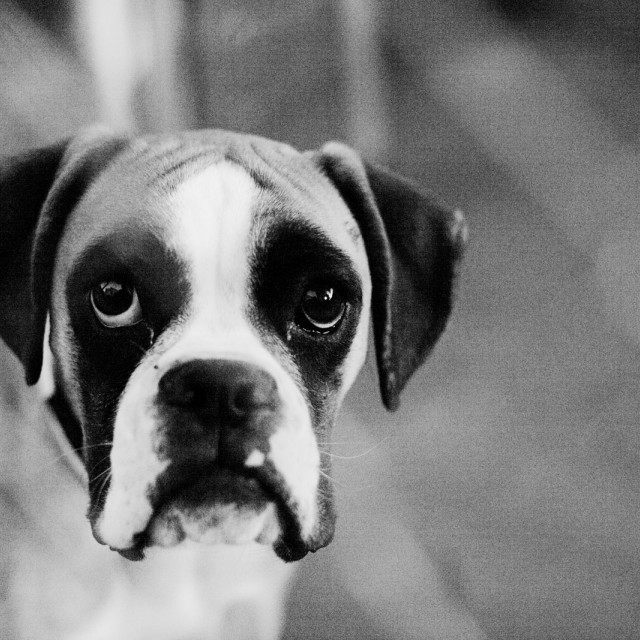 """Boxer dog pet portrait black and white stock photo"" stock image"