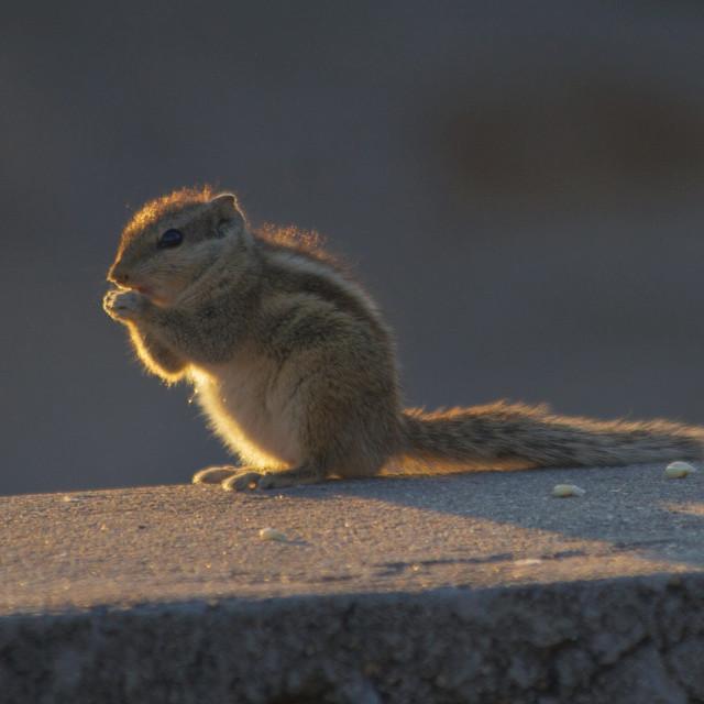 """Palm Squirrel"" stock image"