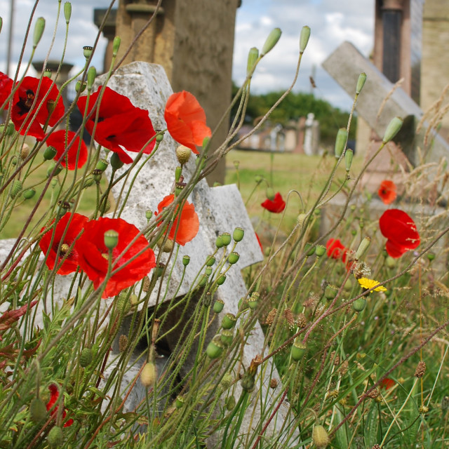 """Red Poppies in Graveyard"" stock image"