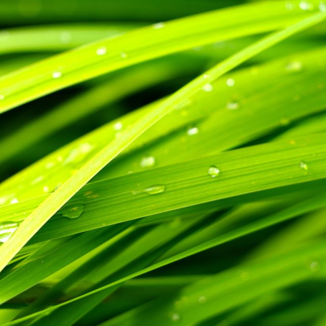"""Water drops on long green leaves"" stock image"