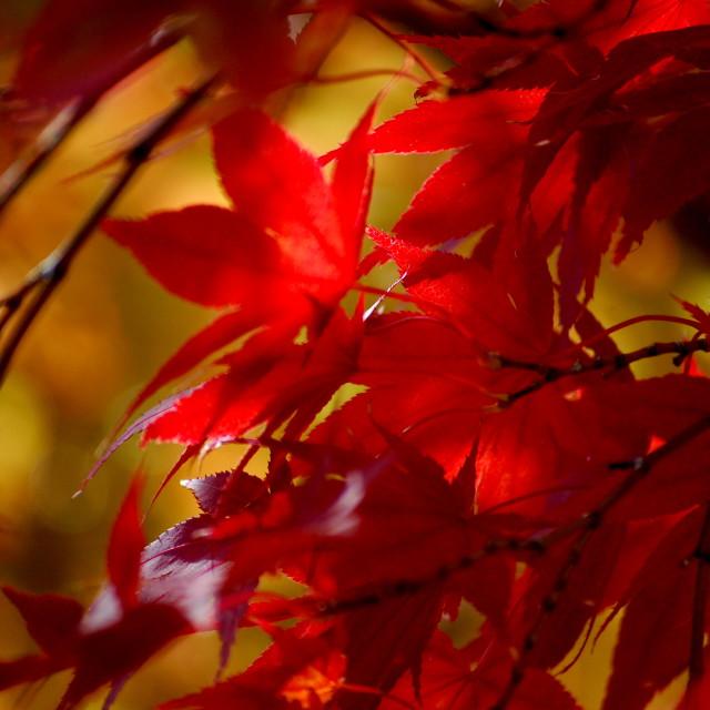 """""""Japanese Maple"""" stock image"""