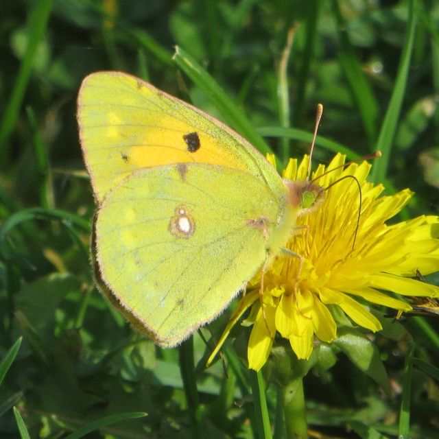 """""""November butterfly, (Clouded Yellow), on Adur recreation ground, Shoreham by sea"""" stock image"""
