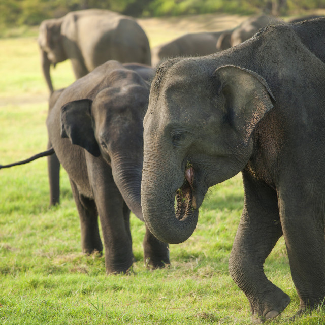 """""""Young elephants eating grass"""" stock image"""
