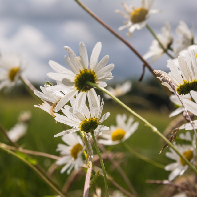"""Ox eye daisies"" stock image"