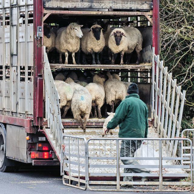 """Sheep Truck"" stock image"