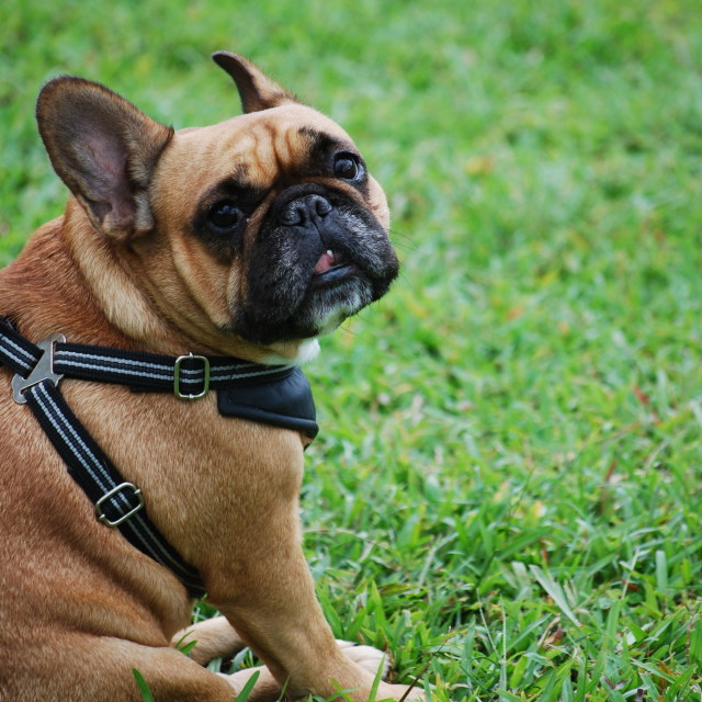 """Positive French Bulldog Looking Up"" stock image"