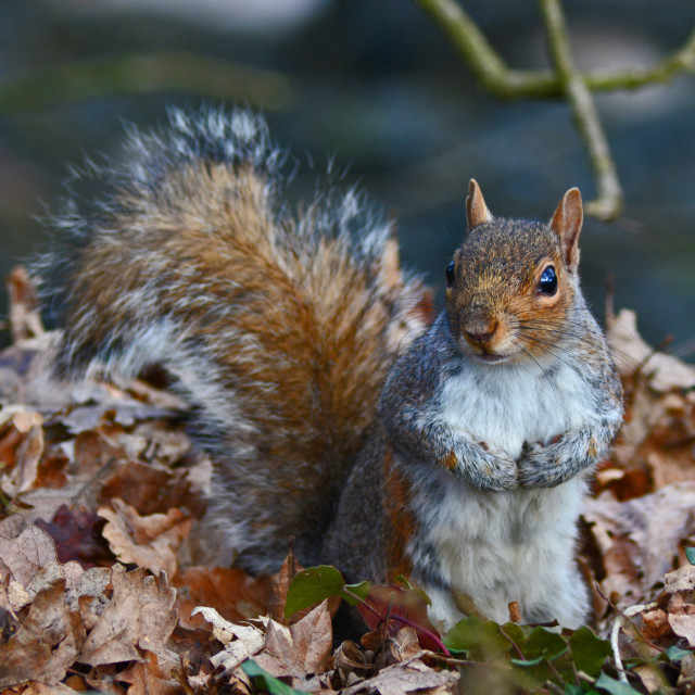 """Autumn Squirrel"" stock image"