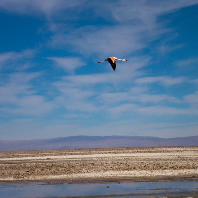 """Flamingo Flight"" stock image"