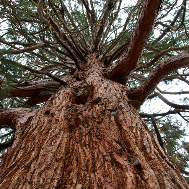 """Looking upwards through a tree"" stock image"