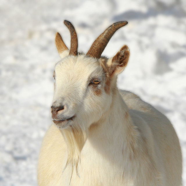 """Goat in the snow"" stock image"