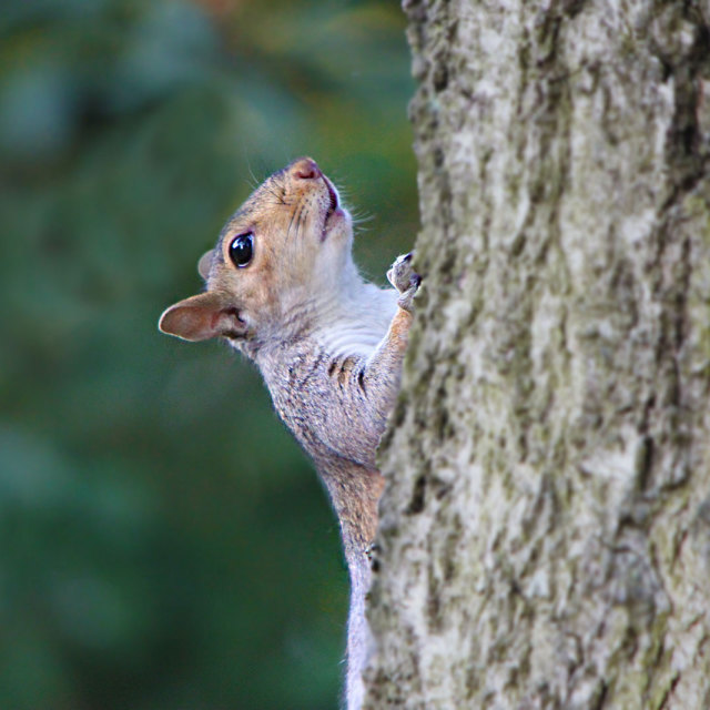 """Squirrel on a tree"" stock image"