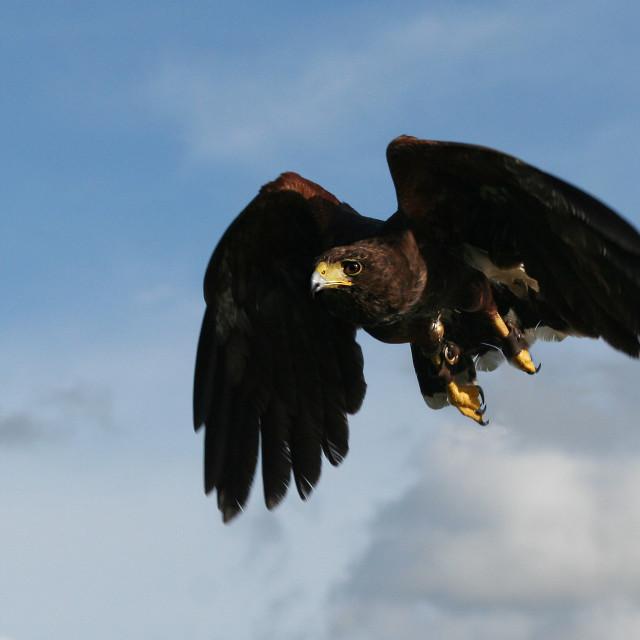 """Harris hawk coming into land"" stock image"