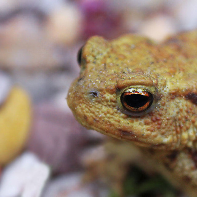 """""""Toad close up"""" stock image"""