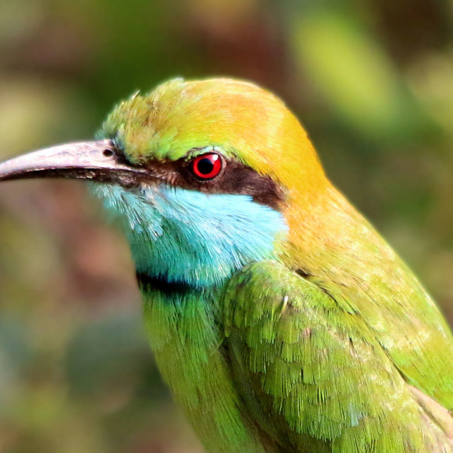 """Green Bee Eater"" stock image"