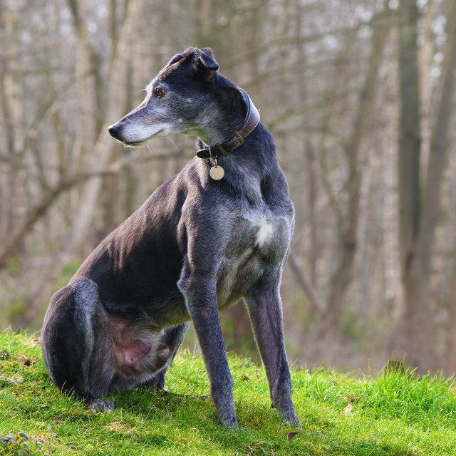 """Lurcher sitting down"" stock image"