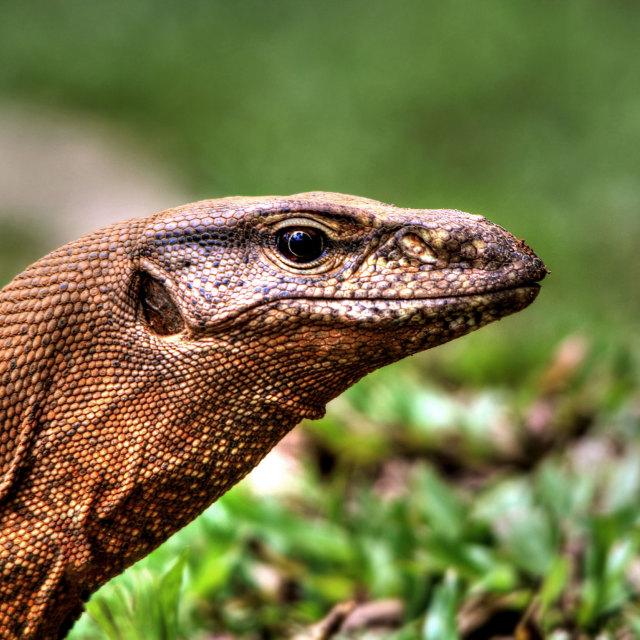 """Monitor Lizard"" stock image"