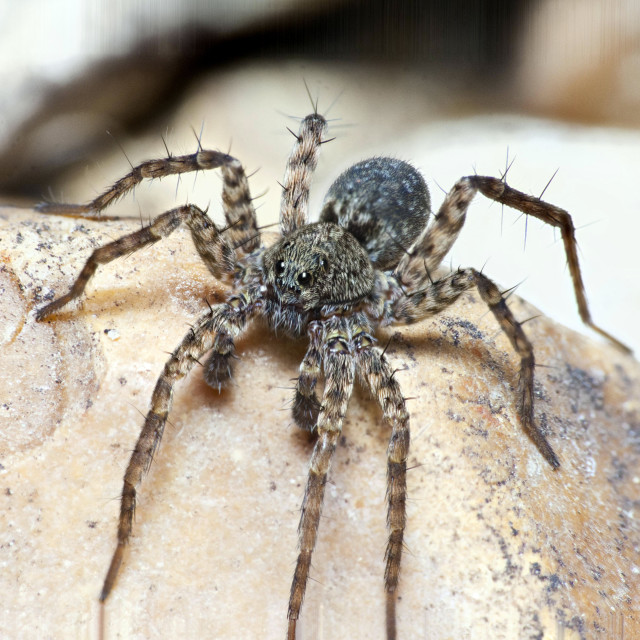 """Wolf Spider"" stock image"